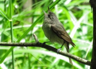 Warbling Vireo (Juv) - Oatka Creek Park - © Jim Adams - Jun 10, 2016