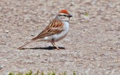 Chipping Sparrow - Hamlin Beach Park - © Dick Horsey - Jun 10, 2016