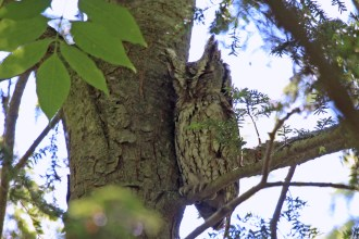 Eastern Screech-Owl - Letchworth Park (RBA Field Trip) - © Jeanne Verhulst - June 12, 2016