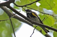 Yellow-rumped Warbler - Letchworth Park (RBA Field Trip) - © Jeanne Verhulst - June 12, 2016