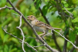 Grasshopper Sparrow - Avon - © Nick Kachala - June 19, 2016