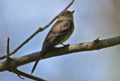 Eastern Wood-Pewee - Tinker Nature Park - © Dick Horsey - June 22, 2016