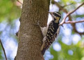Hairy Woodpecker - Brighton - © Dick Horsey - June 24, 2016
