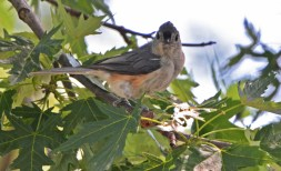 Tufted Titmouse - Brighton - © Dick Horsey - June 24, 2016