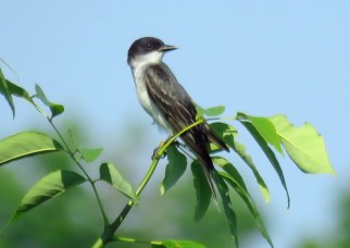 Eastern Kingbird - Oatka Creek Park - © Jim Adams - June 26, 2016