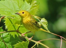 Yellow Warbler - Whiting Road Nature Preserve - © Mary Ackley - Jun 28, 2016