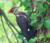 Pileated Woodpecker - Irondequoit - © Candace Giles - Jul 01, 2016