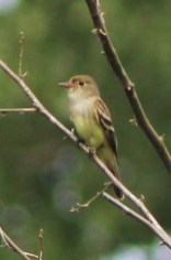 Willow Flycatcher - High Acres Nature Area - © Mary Ackley - Jul 12, 2016