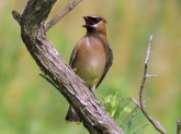 Cedar Waxwing - Oatka Creek Park - © Jim Adams - Jul 15, 2016