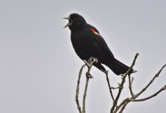 Red-winged Blackbird - High Acres Nature Area - © Dick Horsey - Jul 16, 2016