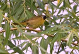 Common Yellowthroat - High Acres Nature Area - © Dick Horsey - Jul 16, 2016