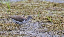 Spotted Sandpiper - High Acres Nature Area - © Dick Horsey - Jul 18, 2016