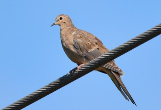 Mourning Dove - King's Bend Park - © Dick Horsey - Jul 19, 2016