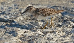 Least Sandpiper - Summerville Pier - © Dick Horsey - Jul 26, 2016