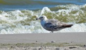 Great Black-backed Gull (1st summer) - Hamlin Beach Park - © Dick Horsey - Jul 26, 2016