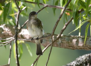 Eastern Phoebe - Hamlin Beach Park - © Dick Horsey - Jul 26, 2016