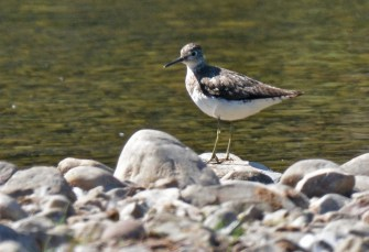 Solitary Sandpiper - High Acres Nature Area - © Dick Horsey - Jul 27, 2016