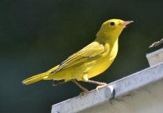 Yellow Warbler - Webster - © Peggy Mabb - Jul 27, 2016