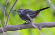 Gray Catbird - Highland Park - © Dick Horsey - Jul 29, 2016