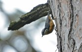 Red-breasted Nuthatch - Highland Park - © Dick Horsey - Jul 29, 2016
