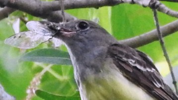 Great Crested Flycatcher (Juv) - Irondequoit - © Eunice Thein - Jul 30, 2016