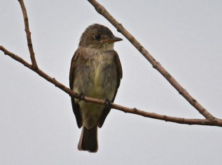 Eastern Wood-Pewee - Brickyard Trail - © Dick Horsey - Jul 31, 2016