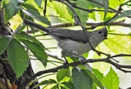 Tufted Titmouse - Kent Park - © Dick Horsey - Jul 31, 2016