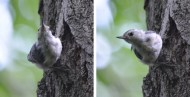 White-breasted Nuthatch - Kent Park - © Dick Horsey - Jul 31, 2016