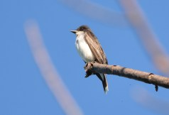 Eastern Kingbird - Whiting Road Nature Preserve - © Dick Horsey - Aug 02, 2016