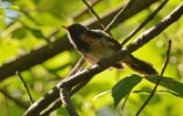 American Redstart - Whiting Road Nature Preserve - © Dick Horsey - Aug 03, 2016
