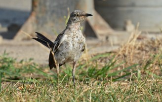 Northern Mockingbird (Juv) - King's Bend Park - © Dick Horsey - Aug 12, 2016
