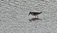 Semipalmated Sandpiper - King's Bend Park - © Dick Horsey - Aug 12, 2016