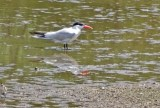 Caspian Tern - King's Bend Park - © Candace Giles - Aug 13, 2016