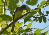 Great Crested Flycatcher - Lakeview Church Trail - © Dick Horsey - Aug 22, 2016