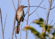 Brown Thrasher - Brickyard Trail - © Dick Horsey - Oct 04, 2016