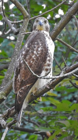 Red-tailed Hawk - Durand Eastman Park - © Eunice Thein - Oct 07, 2016