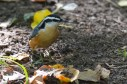 Red-breasted Nuthatch - Mendon Ponds - © Dick Horsey - Oct 14, 2016