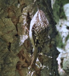 Brown Creeper - Durand Eastman Park - © Eunice Thein - Oct 14, 2016