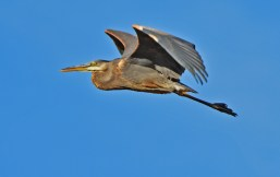 Great Blue Heron - High Acres Nature Area - © Dick Horsey - Oct 15, 2016