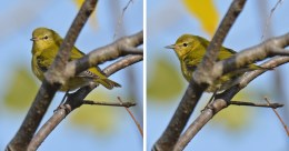 Tennessee Warbler - High Acres Nature Area - © Dick Horsey - Oct 15, 2016
