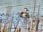 Ruddy Duck - Iroquois NWR (RBA Field Trip) - © Eunice Thein - Oct 15, 2016