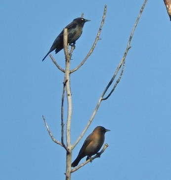 Rusty Blackbird - Iroquois NWR (RBA Field Trip) - © Eunice Thein - Oct 15, 2016