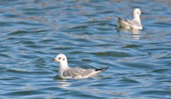 Bonaparte's Gull - Batavia WTP - © Dick Horsey - Oct 31, 2016