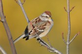American Tree Sparrow - High Acres Nature Area - © Dick Horsey - Nov 06, 2016