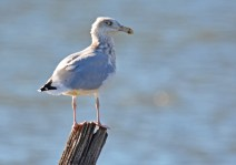 Herring Gull - Irondequoit Bay Outlet - © Dick Horsey - Nov 07, 2016