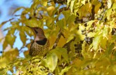 Northern Flicker - Durand Eastman Park - © Dick Horsey - Nov 07, 2016