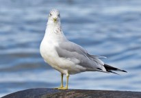 Ring-billed Gull - Webster Park - © Dick Horsey - Nov 12, 2016