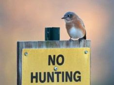 Eastern Bluebird - Whiting Rd Nature Preserve - © Dick Horsey - Nov 12, 2016