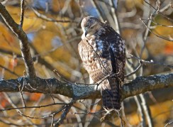 Red-tailed Hawk (Juv) - Durand Eastman Park (RBA Field Trip) - © Dick Horsey - Nov 13, 2016