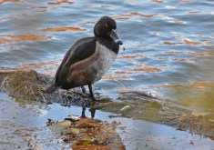 Ring-necked Duck - Durand Eastman Park (RBA Field Trip) - © Dick Horsey - Nov 13, 2016